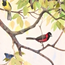 crimson-collared-grosbeaks-graphite-ink-colored-pencil-gouache-and-watercolor-wash-2009