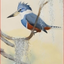 ringed-kingfisher-2009-graphite-ink-colored-pencil-gouache-and-watercolor-wash