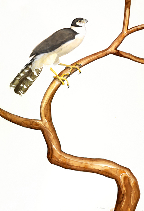 collared-forest-falcon-44x30-graphite-ink-colored-pencil-gouache-and-watercolor-wash-2007-2008
