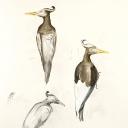 imperial-woodpecker-gouache-watercolor-colored-pencil-graphite-on-paper-2008