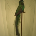 Resplendent Quetzal on Loan from the California Academy of Sciences