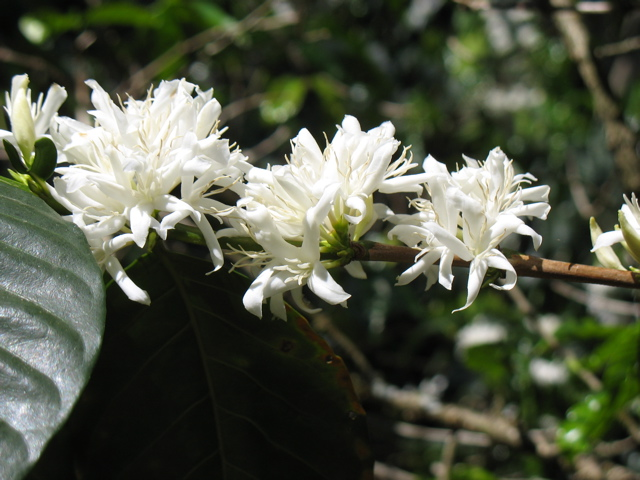 The ethereal fragrance coffee flowers is a memorable part of the first day's hike staring at Finca Prusia