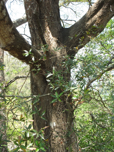 The gnarly oak: one of about 150 species in Mexico; making the oak king of the world.