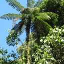 Massive tree fern perhaps 50 or 60 feet tall.