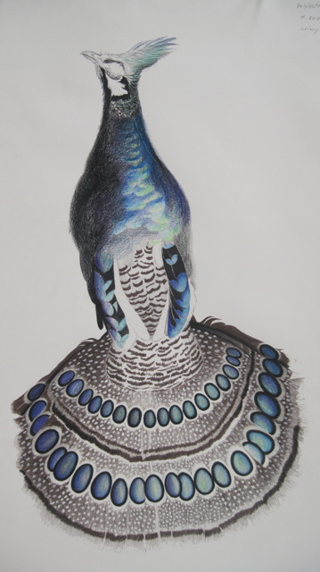 Talawan Peacock Pheasant
