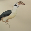 mindanao-hornbill