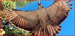 Eagle, Shem Longakit