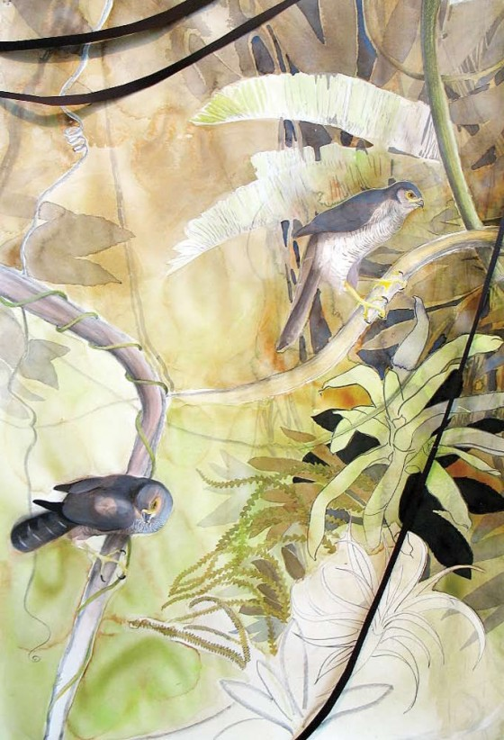 Barred Forest-Falcon, 2008