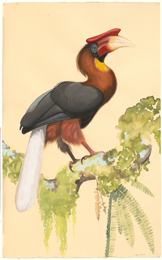 Roufous Hornbill