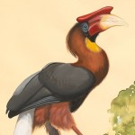 Roufous Hornbill, feature