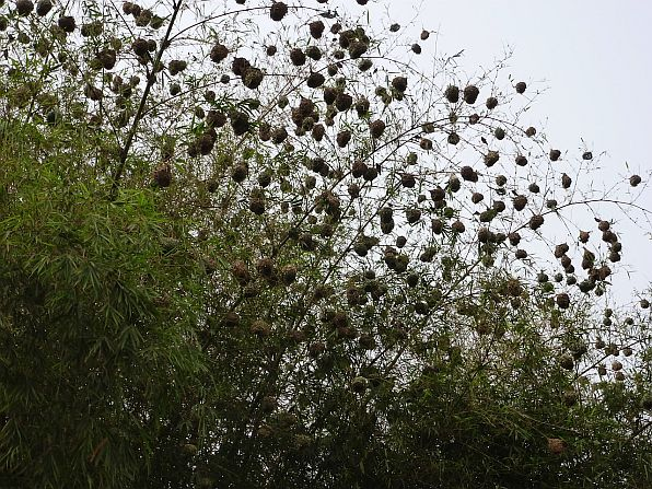 Weaver nests near Kakum National Park