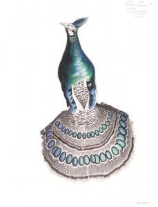 "David Tomb - Palawan Peacock-Pheasant: 18""x24"", watercolor and colored pencil on paper, 2011"