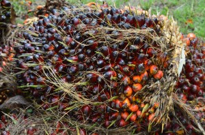 Fresh Fruit Bunches waiting collection near a village cooperative