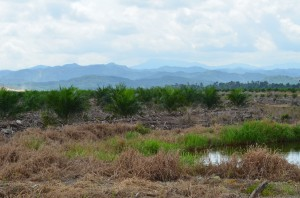 Oil palms crowd the forest corridor on the Kinabatagan River