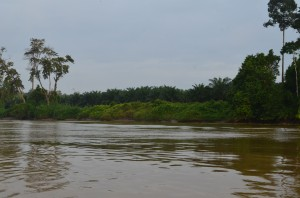 Young oil palms; this was a peat swamp forest