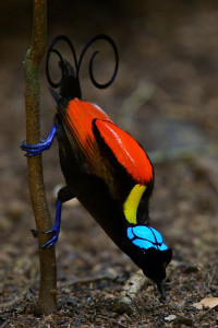 Wilson's Bird of Paradise, photo by Tim Laman