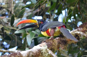 Elusive Fiery-billed Aracari