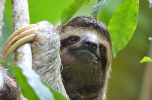 Female 3-toed Sloth