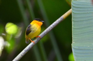 The tiny Orange-collared Manakin