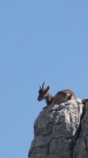 Southwestern Spanish Ibex